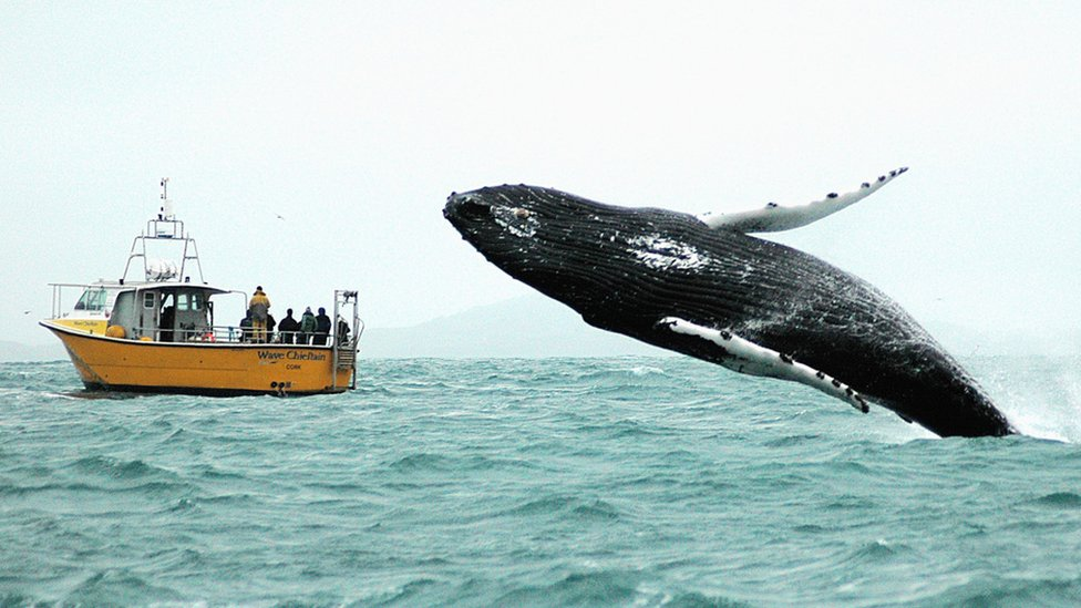 A humpback whale breaches off the coast of Ireland