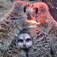 Meerkats keeping warm