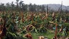 Destroyed banana plantation in Compostela town