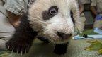 Giant panda cub Xiao Liwu