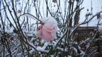 A pink rose is weighed down by snow. Behind are branches also covered in snow.