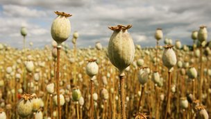 Opium poppies produced for morphine near ripeness in a field in Salisbury, England