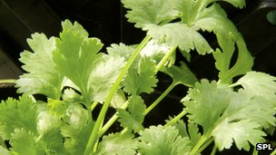 Coriander