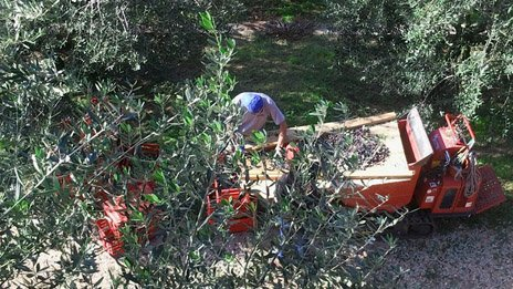Picking olives in Veneto, Italy