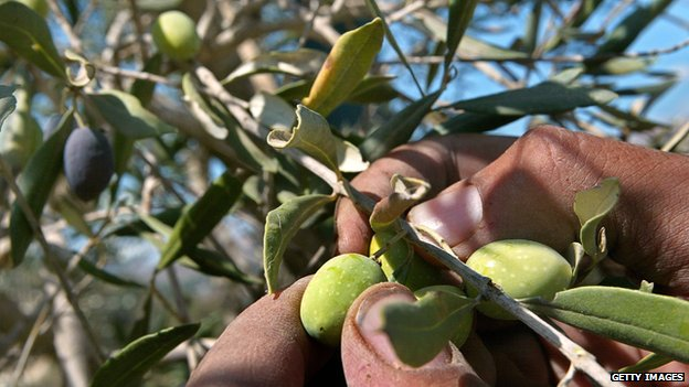 Picking olives from a tree