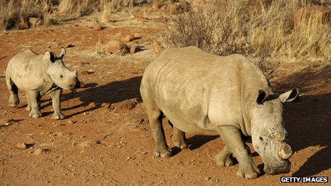 64681286 rhinogetty Rhino poaching: South Africa and Vietnam sign deal