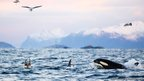 Killer whales emerge from water