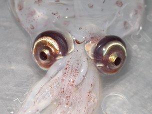 Atlantic cranch squid