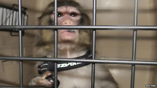 Darwin the monkey - handout photo taken by Toronto Animal Services, 10 December 2012