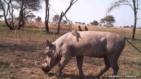 Warthog and oxpecker birds