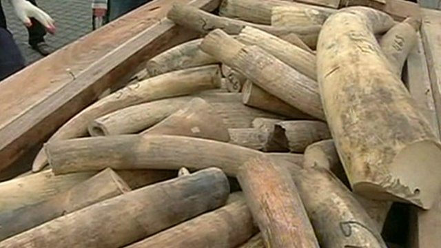 Seized ivory in Malaysia