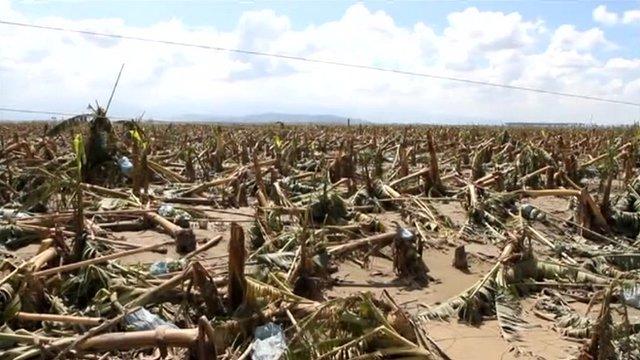 Devastated banana crop