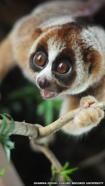 The newly discovered loris species