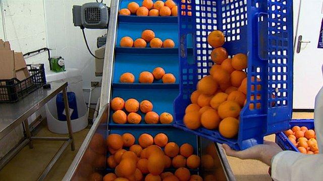 Oranges on a production line