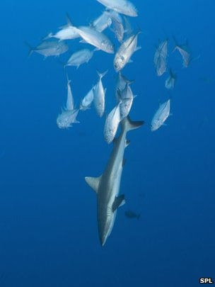 Jackfish following reef shark