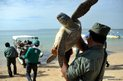 Indonesian members of Nature Conservation Agency carry a rescued green turtle