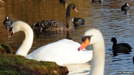 Black swan and white swans and other water birds