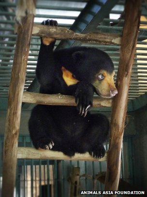 Malayan sun bear in AAF's sanctuary