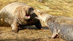Seals shouting at each other