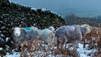Herdwick ewes take shelter in Borrowdale