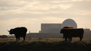 Highland cattle graze near Sizewell