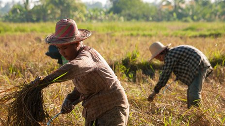Rice harvest in the Irrawaddy Delta