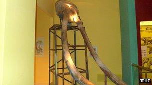 Palaeoloxodon tusks in Northwest University, Xi'an