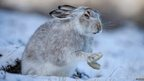 Mountain hare (c) David Walker