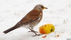 Fieldfare (c) Margaret Sweeny