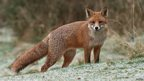 Red fox (c) Stuart Wright