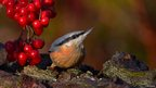 Nuthatch (c) Alan Woodgate