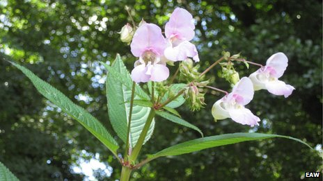 Himalayan balsam is easy to uproot, unlike plants like Japanese knotweed
