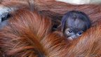 Emma the Sumatran orangutan holds her unnamed three-day-old infant, at Chester Zoo, in Chester, in October 2012