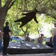 Bear falling from tree
