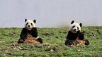 Two giant pandas 