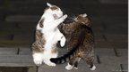 George Osborne's cat Freya fighting David Cameron's cat Larry