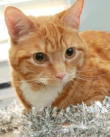 Ginge the cat with tinsel (not the tinsel swallowed)
