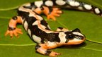 Luristan newt