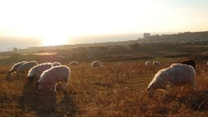 Sheep grazing above Brighton