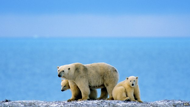 polar bears and water