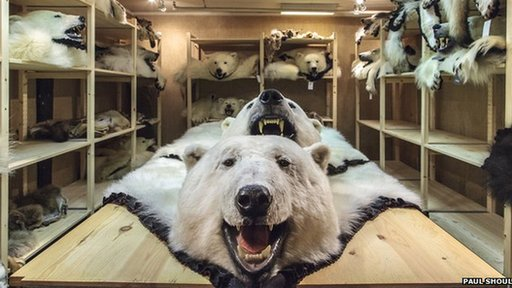 polar bear skins