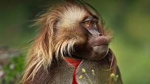 Gelada: BBC Africa
