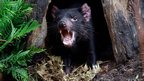 A Tasmanian devil in its new enclosure at Wild Life Zoo in central Sydney