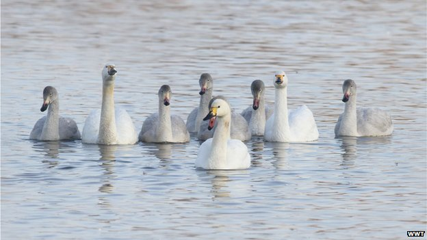 The largest-ever family of Bewick's swans has arrived for winter, Slimbridge wildfowl reserve reports