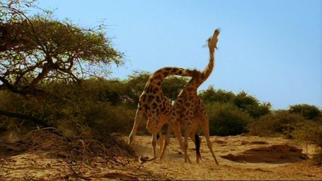 Giraffes fight for dominance