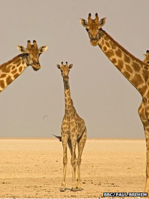 Three desert giraffes stretch for a better view