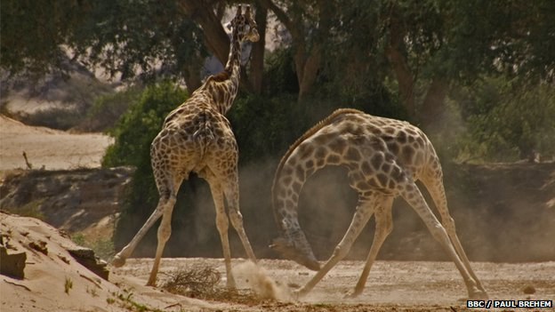 Male giraffes fight