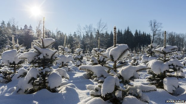 Hunt for the prefect Xmas tree could soon be at an end