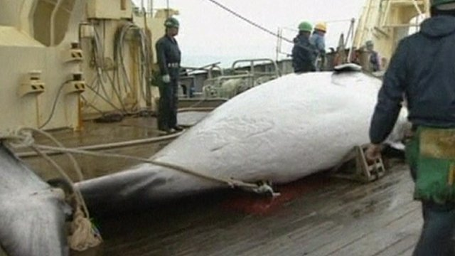 A whale onboard a Japanese whaling ship