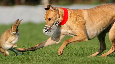Hare coursing in Ireland